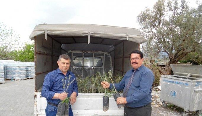 Yunusemreli üreticilere 10 bin zeytin fidanı dağıtıldı