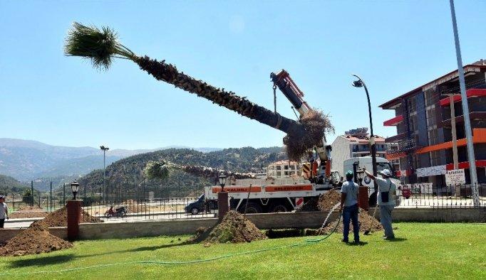 Salihli'de palmiyeler taşınıyor