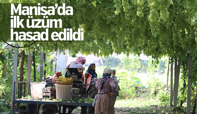 """Manisa'da """"Mevlana"""" cinsi üzümün hasadı başladı"""