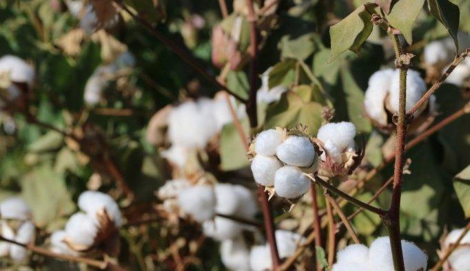 'Beyaz altın' hasada hazırlanıyor