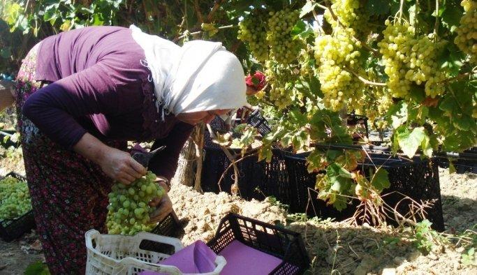 Sarıgöl'de günde 4 bin ton üzüm kesiliyor