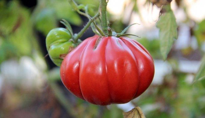 (Özel haber) Çocukluğundaki lezzetin peşine düştü, yüzlerce tohum üretti