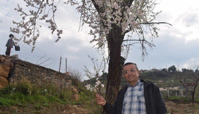 Alaşehir'de erik ve kayısı ağaçları çiçek açtı