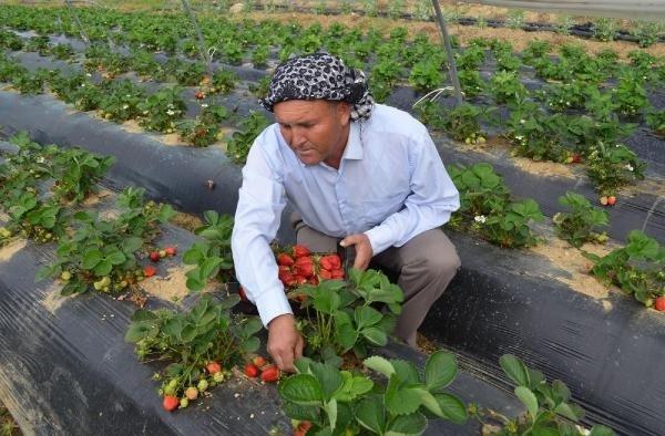 Manisa'da örtü altı çilekte ilk hasat