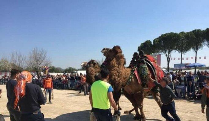 Saruhanlı'da 68 deve kıran kırana güreşti