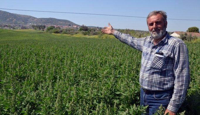 Çiftçinin yeni gözdesi: Kinoa