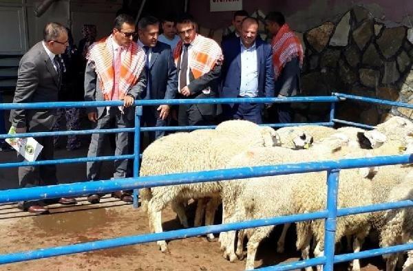 Genç çiftçilere 444 koyun dağıtıldı