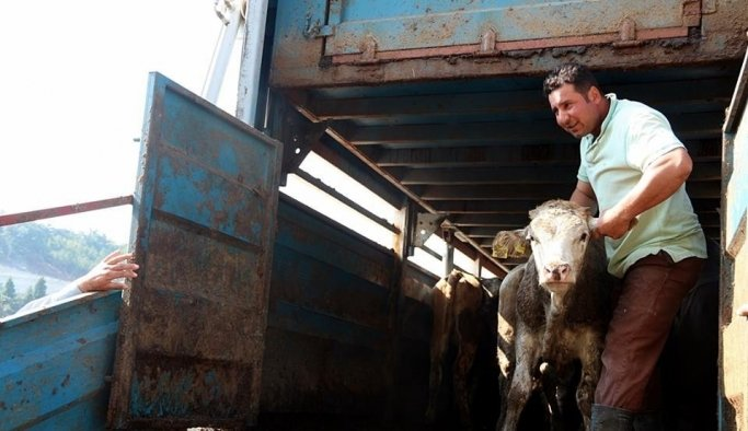 Demirci'de genç çiftçilere büyükbaş hayvan desteği