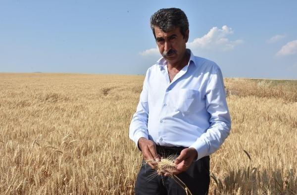 Sıcaklar ve kuraklık buğdayı etkiledi, verim yüzde 50 düştü