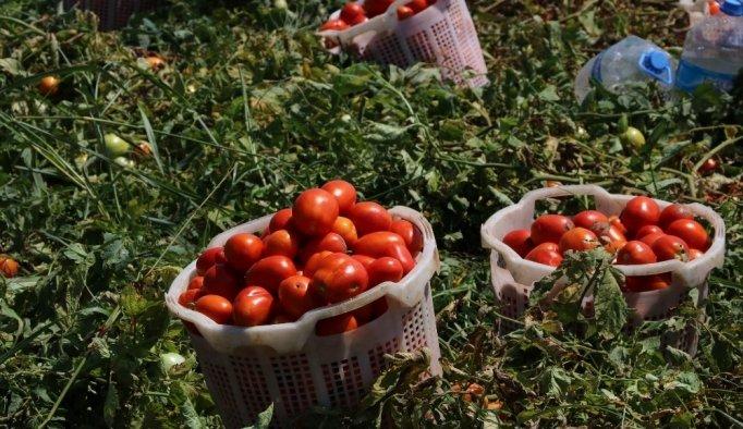 Hastalığın vurduğu domateste bu yıl fiyatlar yükseldi