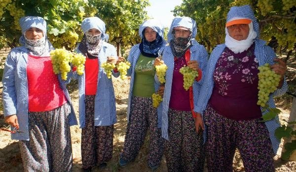'Türkiye'nin üzüm ambarı' Alaşehir'de hasat zamanı