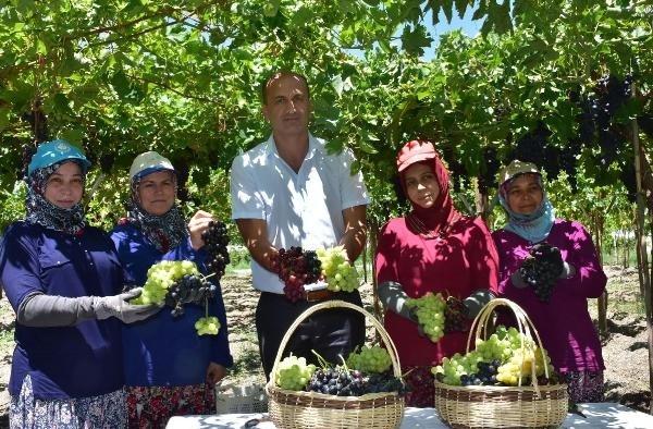 Türkiye'nin üzüm ambarında hasat başladı