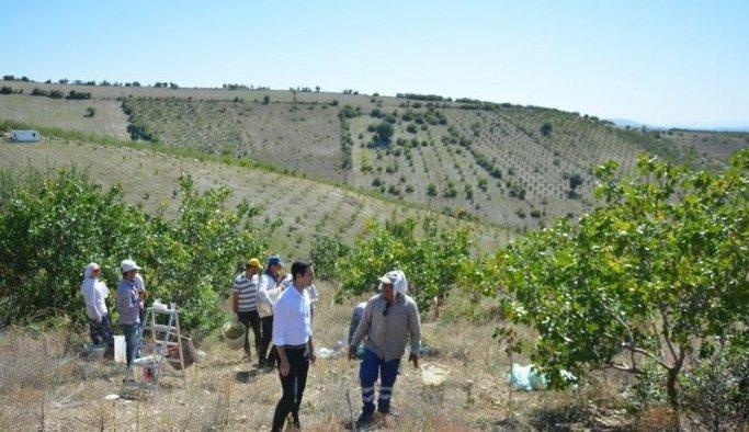 Selendi'de Antep fıstığı hasadı başladı