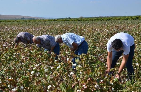 Manisa'da pamuk hasadı başladı