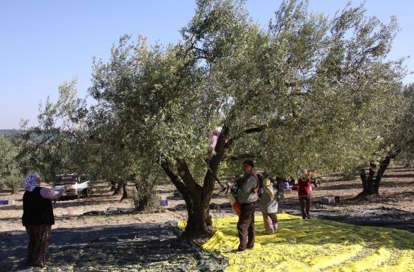 Saruhanlı'da zeytinde hasat başlarken, fiyattan yakınıldı