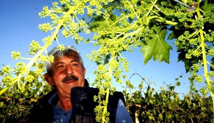 Dünyaca ünlü Sultaniye üzümleri ihracata hazırlanıyor