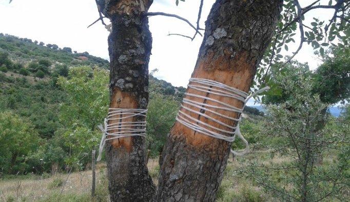 Yabani ağaçlar aşılanarak ekonomiye kazandırılıyor