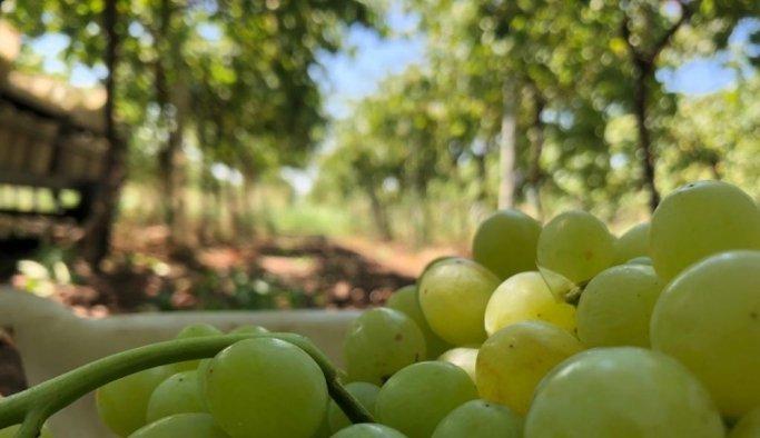 Türkiye'nin üzüm ambarında üzümler kurutulmaya başlandı