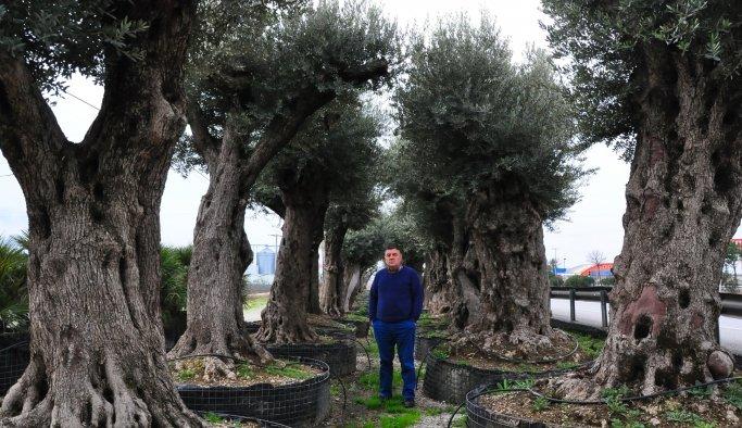 Odun olmaktan kurtardığı asırlık zeytin ağaçları gelir kapısı oldu