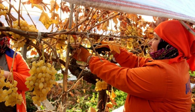 2020'nin ilk üzüm hasadıManisa'da yapıldı