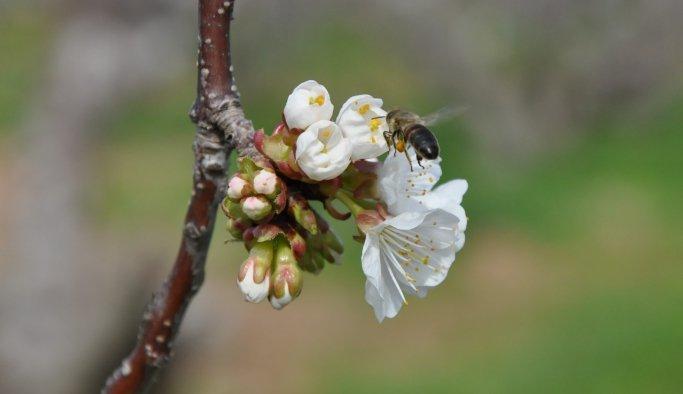 Kuzey yarım kürenin ilk kirazları çiçek açtı