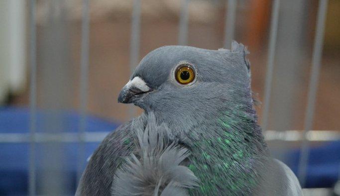 """Manisa'nın asırlık güvercini """"Hünkari"""" tescillendi"""