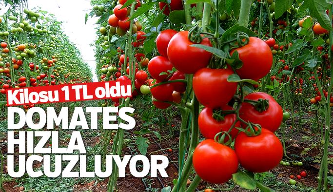 Manisa'da domatesin fiyatı hızla ucuzluyor