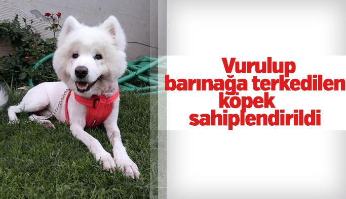 Vurulup, barınağa terkedilen köpek, sahiplendirildi