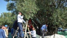 Türkiye'nin en yaşlısı olan Bin 657 yıllık ağaçtan hasat yapıldı
