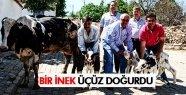 SALİHLİ'DE BİR İNEK ÜÇÜZ DOĞURDU