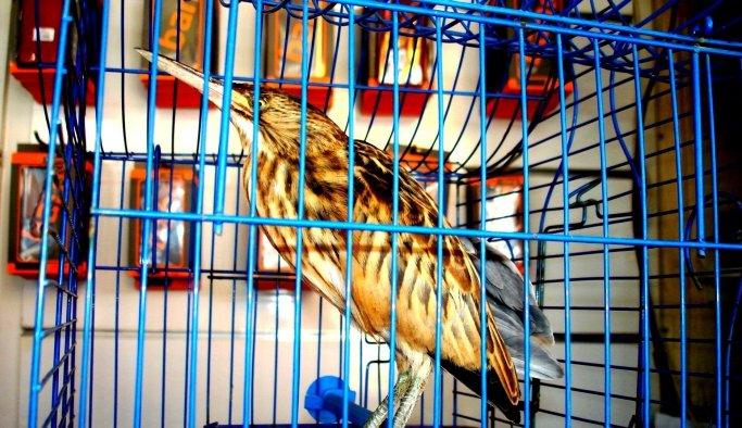 Esnafın duyarlılığı Balaban kuşunun hayatını kurtardı