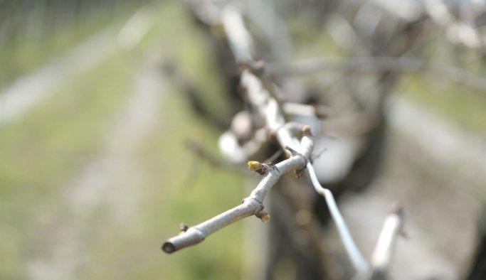 Manisa'da üzüm bağlarını don vurdu